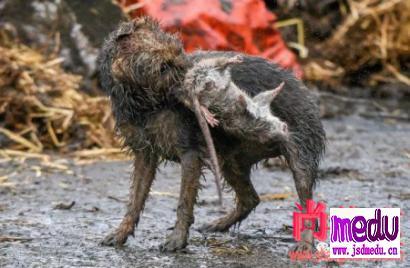 英国农场老鼠成灾,梗犬上阵战果斐然,狗拿耗子还真不是多管闲事!