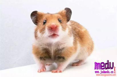 鼠曲草的功效与作用及食用方法:止咳化痰的良药,你知道怎么用吗?