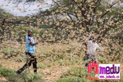 东非爆发蝗灾,一个蝗虫种群一天内吃掉2500人的口粮
