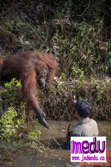 婆罗洲森林保护区善良的猩猩伸出援手,试图搭救站在婆罗洲深河里的男人