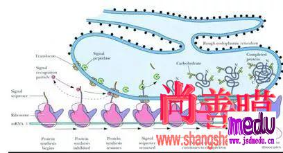 线粒体脑肌病:三个月期间发病3次的线粒体