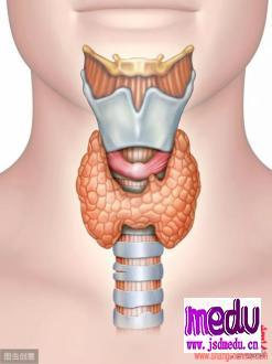 甲状腺为什么那么重要?
