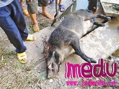 四川省巴州区六旬农妇为保护庄稼电死三头野猪,被判刑并赔偿1500元